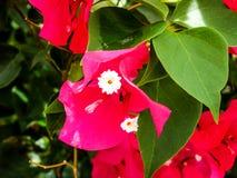 цветки бугинвилии горячего пинка Стоковая Фотография