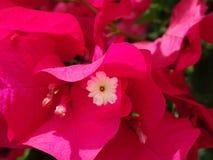 цветки бугинвилии горячего пинка Стоковое Фото