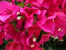 цветки бугинвилии горячего пинка Стоковое фото RF