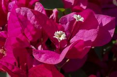 Цветки бугинвилии розовые с белым центром стоковое изображение rf