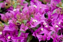 цветки бугинвилии Стоковые Фото