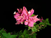 цветки бугинвилии Стоковое Изображение RF