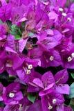 Цветки бугинвилии в пурпуре Стоковое Изображение RF