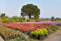 Цветки бугинвилии на саде, Стоковые Изображения