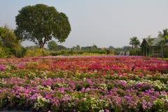 Цветки бугинвилии на саде, Стоковая Фотография