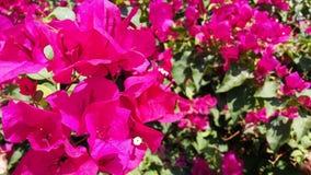 Цветки бугинвилии фото яркие розовые стоковая фотография