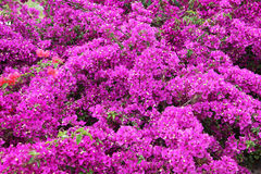 Цветки бугинвилии Стоковое Фото
