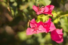 Цветки бугинвилии Стоковая Фотография RF