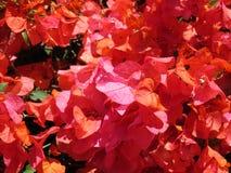 Цветки бугинвилии Стоковое Изображение