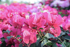 Цветки бугинвилии Стоковое фото RF