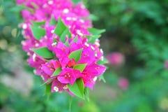 Цветки бугинвилий Стоковое Фото