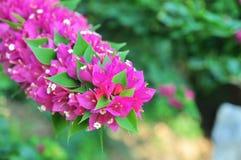 Цветки бугинвилий Стоковая Фотография RF