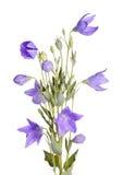 Цветки, бутоны и листья цветка воздушного шара на белизне Стоковые Фото