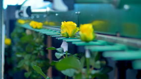 Цветки будучи транспортированным машиной фабрики видеоматериал