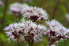 Цветки валериана. Стоковое фото RF