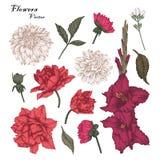 Цветки вектора установили с тюльпанами, георгинами и цветками гладиолуса Стоковая Фотография
