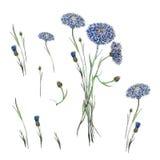 Цветки вектора cornflowers акварели Стоковое Изображение