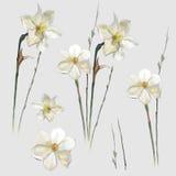 Цветки вектора narcissus акварели Стоковое Фото