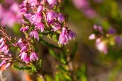 Цветки вереска Стоковое фото RF