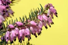 Цветки вереска Стоковая Фотография RF