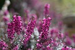 Цветки вереска Стоковое Изображение