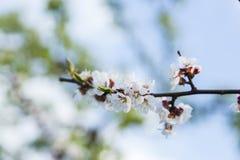 Цветки весны абрикоса Стоковые Изображения RF