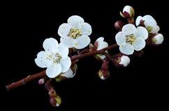 Цветки весны бело-голубые на ветви изолированной на черной предпосылке с путем клиппирования без теней Конец-вверх Цветки aprico Стоковое Изображение RF