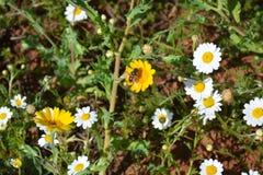 Цветки весны белые и желтые и дерево в Турции Стоковое фото RF