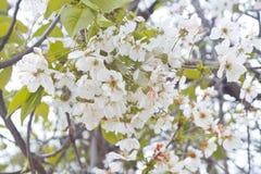 Цветки весны белые одичалой вишни Стоковые Изображения RF