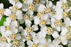 Цветки весны белые Стоковое Фото