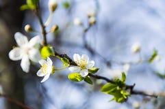Цветки весны вишневого дерева Стоковое Изображение RF