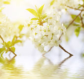 Цветки весны вишни Стоковые Фото