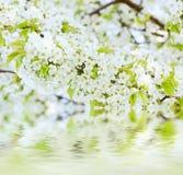 Цветки весны вишни Стоковая Фотография RF