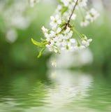 Цветки весны вишни Стоковое Изображение