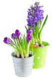 Цветки весны в баках Стоковая Фотография