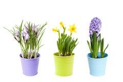 Цветки весны в баках Стоковое Фото