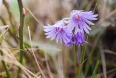 Цветки весны в горах Стоковое Фото