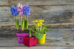 Цветки весны в пестротканых баках Стоковые Фото