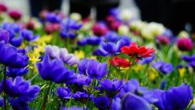 Цветки весны: голубые anemonae и красный цвет и фиолетовые и белые цветки на заднем плане в саде Keukenhof, Нидерландах Стоковое Изображение RF