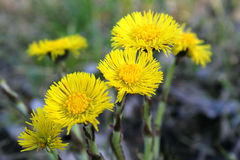 Цветки весны желтые Стоковые Изображения