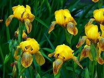 Цветки весны зацветая желтого крупного плана астр Стоковое Изображение RF