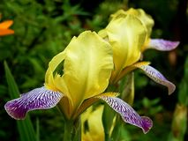 Цветки весны зацветая желтого крупного плана астр Стоковые Изображения RF