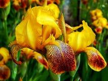 Цветки весны зацветая желтого крупного плана астр Стоковые Изображения