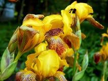 Цветки весны зацветая желтого крупного плана астр Стоковые Фото