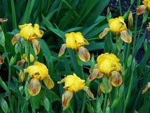 Цветки весны зацветая желтого крупного плана астр Стоковое фото RF