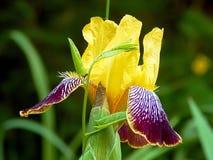 Цветки весны зацветая желтого крупного плана астр Стоковое Изображение