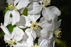 Цветки весны зацветая яблони весны - нерезкости макроса взгляда конца-вверх, пастельных тонов Ландшафт весны с цветками яблока ве стоковое изображение