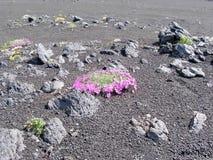 Цветки весны Камчатка Цветки и лава вулкана Долина гейзеров стоковое изображение