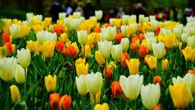 Цветки весны: конец вверх colouful тюльпанов Стоковое Изображение