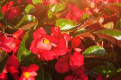 Цветки весны красной бегонии Стоковые Изображения